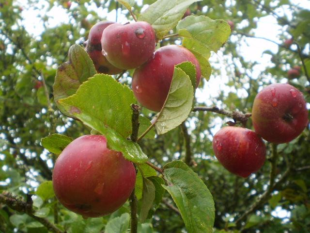 Manzanos en Bretaña